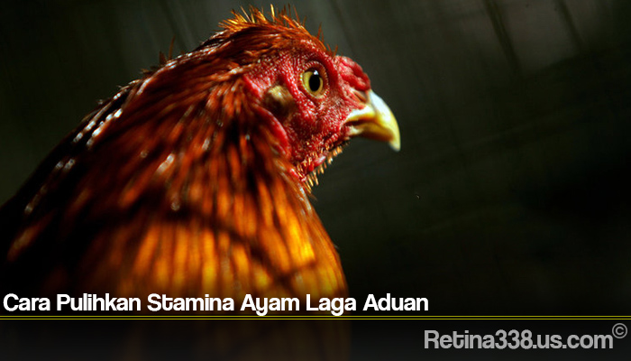Cara Pulihkan Stamina Ayam Laga Aduan