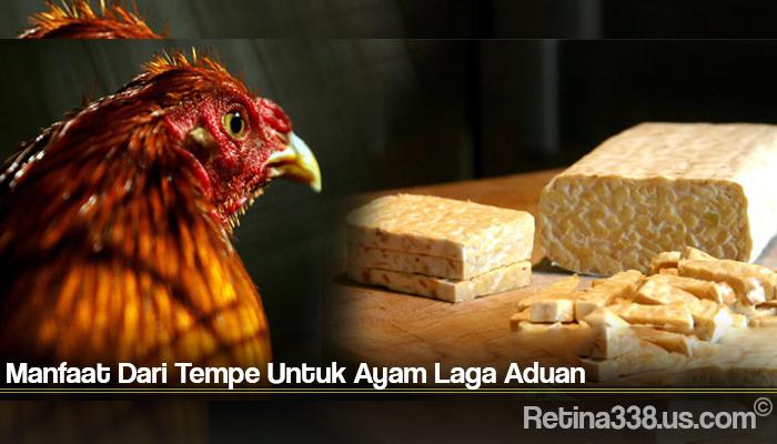 Manfaat Dari Tempe Untuk Ayam Laga Aduan